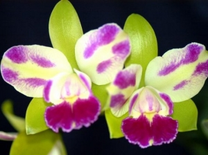 Blc.Village Chief North'