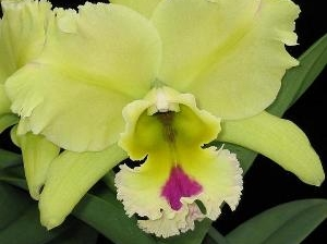 Blc.Magic Meadow