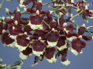 Hsu. Twinkle 'Black Bee'