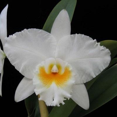 lamta1k 100Pcs White Egret Orqu/¨/ªdea Calidad de semilla y Altas tasas de Supervivencia Rare Beautiful Home Garden Flower Ornament